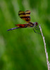 081714<br /> Dragonfly<br /> Cromwell Valley Park<br /> Towson, Maryland