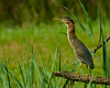 082414<br /> Green Heron<br /> Harford Glen<br /> Abingdon, Maryland