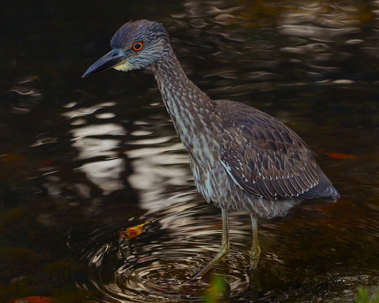 022714 Juvenile Night Heron Ding Darling NWR Sanibel, Florida