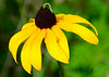 070614<br /> Inch Worm on Black Eyed Susan<br /> Bel Air, Maryland