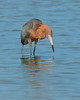 030414 Reddish Egret Bunche Beach Florida