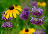070614<br /> Black Eyed Susan<br /> Bel Air, Maryland