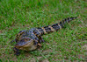 041015<br /> Baby Gator<br /> Harris Neck National Wildlife Refuge