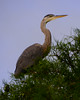 071914<br /> Great Blue Heron in Cypress Tree<br /> Trap Pond<br /> Laurel, Delaware