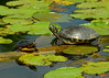 083114<br /> Harford Glen Turtles<br /> Abingdon, Maryland