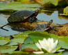 080914<br /> Harford Glen Turtles<br /> Abingdon, MD
