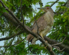 053115<br /> Black Crowned Night Heron<br /> Kiwanis Lake<br /> York, Pennsylvania