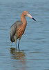 030514 Reddish Egret  Bunche Beach Florida