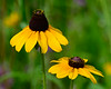 070614<br /> Black Eyed Susans<br /> Bel Air, Maryland