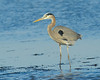 113014<br /> Great Blue Heron<br /> Prime Hook NWR<br /> Delaware