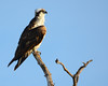 030514 Osprey Bunche Beach Florida