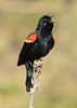 041815<br /> Red Winged Blackbird<br /> Harford Glen