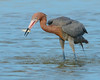 030514 Reddish Egret Fishing Bunche Beach Florida