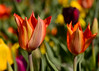 041215<br /> Tulips<br /> Lewis Ginter Botanical Gardens