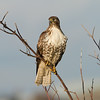 Red Tailed Hawk 016