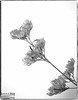Bluebeard Shrub Flowers - onOne Perfect B&W