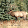 ELK 67<br /> 7x7 bull elk in Jasper National Park