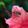 Beetle on hibiscus