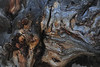 Wood grain makes odd swirling shapes in an old tree root at Sprague Lake on Wednesday.