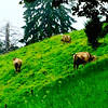 Cattle and their adorable bells on the grassland of Mt Pilatus - Tuesday, Sept 9, 2014