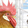 Shaun Walker/The Times-Standard<br /> <br /> A brown leghorn rooster checks out his neighbor during the Humboldt Poultry Fanciers Association 2011 Winter Show at Redwood Acres Fairgrounds in Eureka on Saturday. The event, which continues today [SUNDAY] from 10 a.m. to 5 p.m., features scores of chickens, geese, turkeys, geese, pigeons, and other domestic fowl.