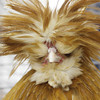 Shaun Walker/The Times-Standard<br /> <br /> A bearded buff laced frizzle Polish chicken looks out from a mess of head feathers during the Humboldt Poultry Fanciers Association 2011 Winter Show at Redwood Acres Fairgrounds in Eureka on Saturday. The event, which continues today [SUNDAY] from 10 a.m. to 5 p.m., features scores of chickens, geese, turkeys, geese, pigeons, and other domestic fowl.