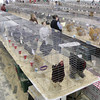 Shaun Walker/The Times-Standard<br /> <br />  during the Humboldt Poultry Fanciers Association 2011 Winter Show at Redwood Acres Fairgrounds in Eureka on Saturday. The event, which continues today [SUNDAY] from 10 a.m. to 5 p.m., features scores of chickens, geese, turkeys, geese, pigeons, and other domestic fowl.