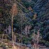 Fall_Color_Sycamore_Tree_Dead_Yucca_Angeles_National_Forest_Sand_Canyon