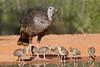 Wild Turkey (Meleagris gallopavo) with Poults
