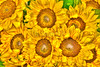 Sunflower Bunch