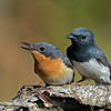 Leaden Flycatchers
