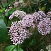 Pink Evodia (Melicope elleryana) (Syn. Euodia elleryana)