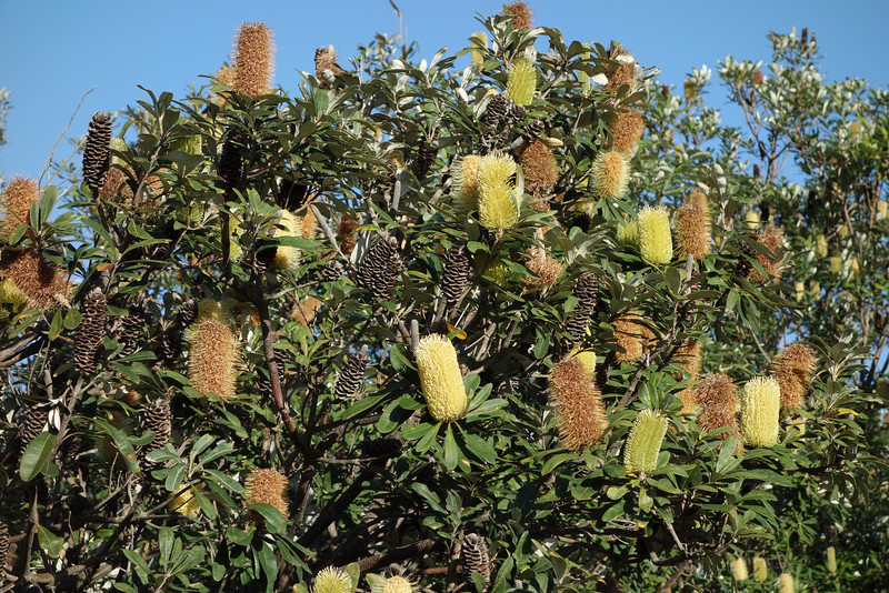 Banksia integrifolia, Coast Banksia, Federation Walk Coastal Reserve, Gold Coast, Queensland.