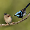 Superb Fairy-wrens, Gold Coast, Queensland. Male feeding female.