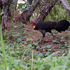 Brush-turkey (Alectura lathami)