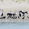 The Broadwater birds. Pelicans, Cormorants and Gulls