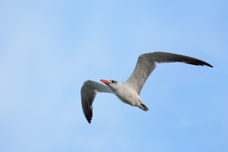 Tern,  Federation Walk Coastal Reserve.