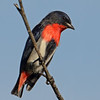 Mistletoebird, Federation Walk Nature Reserve.
