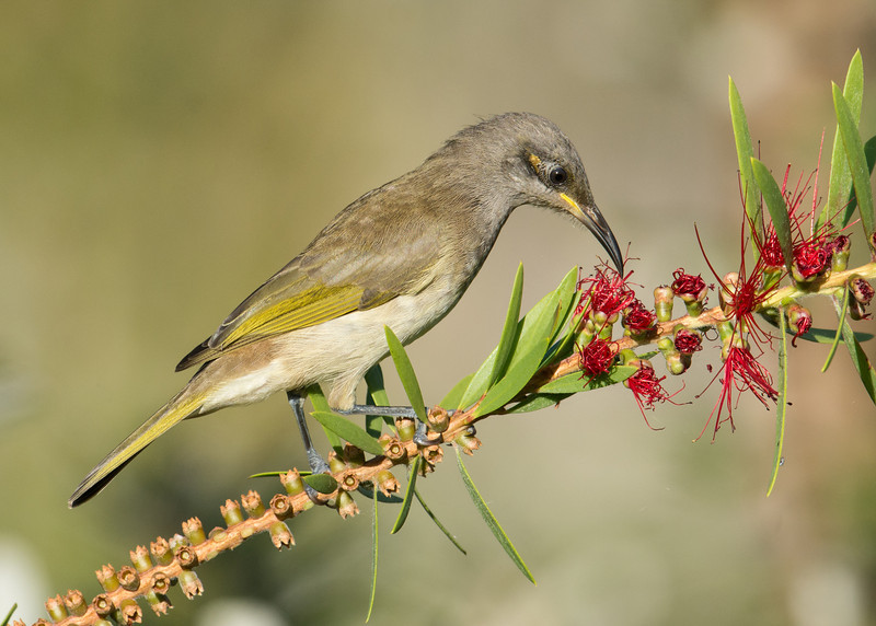 Brown Honeyeater (Lichmera indistincta)