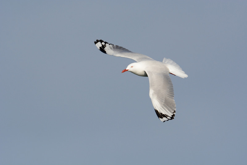 Silver gull, Federation Walk Coastal Reserve