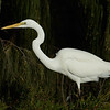 Egret, The Broadwater, Gold Coast, Queensland.
