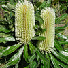 old man banksia (Banksia serrata)