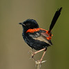 Red-backed Fairywren, Federation Walk Coastal Reserve