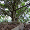 Fig Tree, Ficus spp., Federation Walk Coastal Reserve.