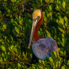 Pelican portrait- Roberts Bay, Sarasota and the Braden River, Bradenton, FL