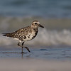 A Black-bellied Plover, almost into breeding plumage, strolling along the beach - Ft. DeSoto, St Petersburg, FL