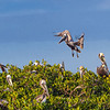 A crowded rookery - Roberts Bay, Sarasota and the Braden River, Bradenton, FL