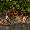 Brown Pelicans bathing- Roberts Bay, Sarasota and the Braden River, Bradenton, FL