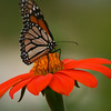 monarch on mexican sunflower2