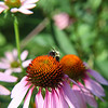 Bee at work in the weir meadow at Fresh Pond Reservation ...